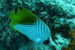 Threadfin Angelfish