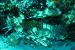 Lion fish tucked under a rock