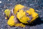 Flasher Scorpionfish (Yellow Variant) - Scorpaenopsis macrochir - Lembeh Strait