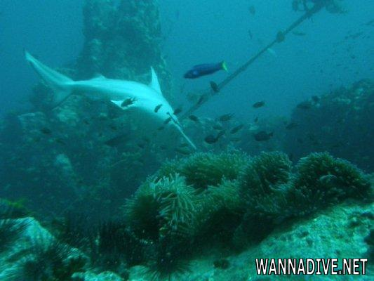 Chumphon pinnacle diving in koh tao thailand world dive site atlas - Koh tao dive sites ...
